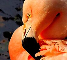 Chilean Flamingo by Barnbk02