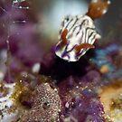 Zephyr Hypselodoris by James Deverich