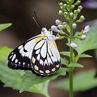 White Caper Butterfly by Chris Kean