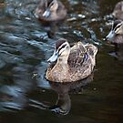 Pacific Black Duck Leading Her Ducklings by mncphotography