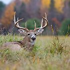 Autumn in Canada - White tailed Buck by Jim Cumming