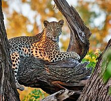 female Leopard lying on a tree by travel4pictures