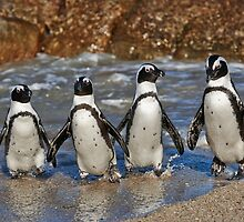 funny image of  four walking African Penguin by travel4pictures