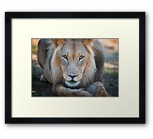 expressive looking male lion Framed Print