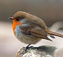 Robin fluffed up on a cold winter day by Nick Jenkins