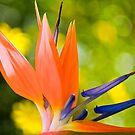 Bird of paradise  by LudaNayvelt