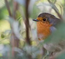 Autumn robin by GinnyScholes