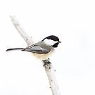 Black-capped Chickadee in winter by Jim Cumming