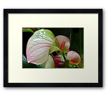Flamingo Lily. Framed Print