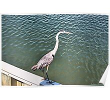 Tri-Colored Heron, on the Wall Poster