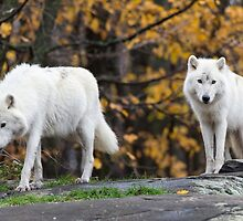 Pair of Arctic Wolves in fall by Josef Pittner