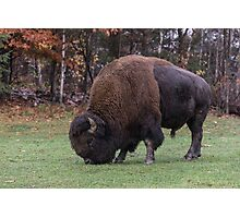 American Field Buffalo grazing Photographic Print