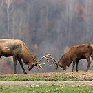 Elk in a fight by Josef Pittner