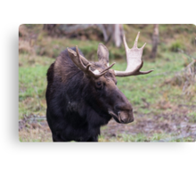 Large moose in a forest Canvas Print