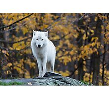 Arctic Wolf - Parc Omega, Quebec Photographic Print