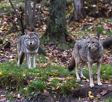 Pair of coyotes in a forest by Josef Pittner