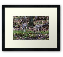 Pair of coyotes in a forest Framed Print