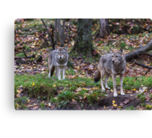 Pair of coyotes in a forest Canvas Print