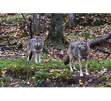 Pair of coyotes in a forest Photographic Print