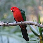 Australian King-Parrot, Male by aussiebushstick