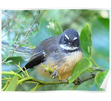 The Look Says It All - NZ Fantail Poster