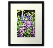 Field of Lupines Photography Print Framed Print