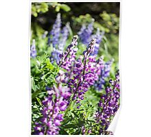 Field of Lupines Photography Print Poster