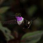 Little Woodstar (male) - Mindo Cloud Forest Ecuador by john  Lenagan