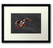 Puffin in flight Framed Print