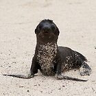 Sea Lion Pup searching for mum  -  Galapagos Isl by john  Lenagan
