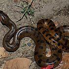 Green Anaconda   - Napo River by john  Lenagan