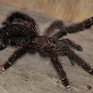 Pink Toed Tarantula   -  Napo River - Amazon by john  Lenagan