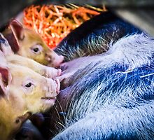 Piglets by Sue Martin