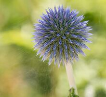 Echinops Blue by DIANE  FIFIELD