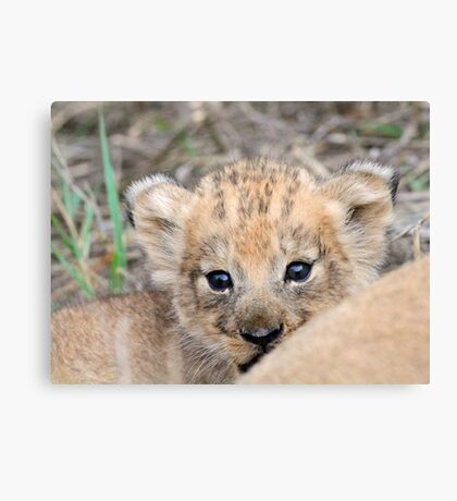 Infant lion cub(mommy what is the big thing looking at us?) Canvas Print