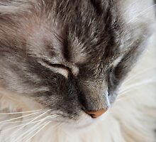 Sleepy Ragdoll by Carol Bleasdale
