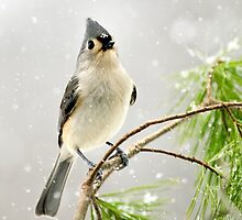 Snowy Songbird by Christina Rollo