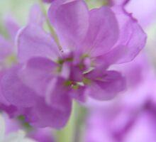 Soft lilac .... by LynnEngland