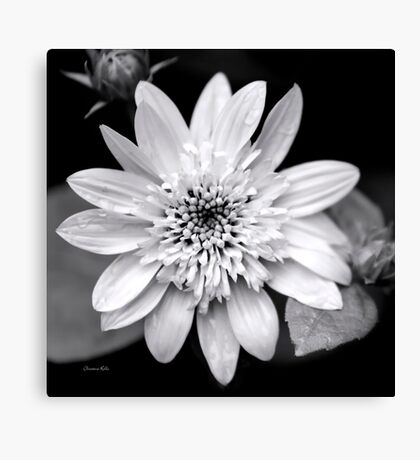 Coreopsis Black and White Canvas Print