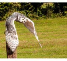 Snowy owl taking off  Sticker