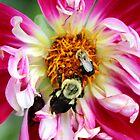 Dahlia Buzz by Gilda Axelrod