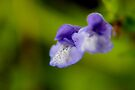 Marsh Skullcap by Kathleen Daley
