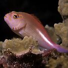 Arc-eye Hawkfish, Bougainville Reef, Australia by Erik Schlogl