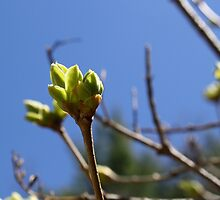 Spring Buds by rqjellybean