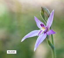 Fairy orchid by Kell Rowe