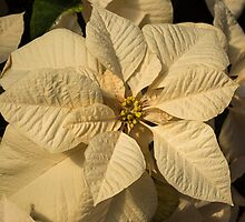 Elegant Ivory Poinsettia - An Exotic Christmas Greeting by Georgia Mizuleva