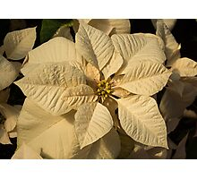 Elegant Ivory Poinsettia - An Exotic Christmas Greeting Photographic Print