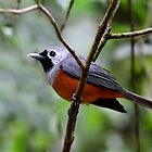 Black Faced Monarch by Leslie-Ann