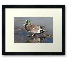 American Wigeon Duck Drake Framed Print