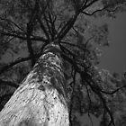 Scary Tree- Messmate, Mount Lofty Botanic Gardens by Ben Loveday